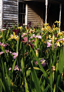 Dorman Hamon's Louisiana Irises.